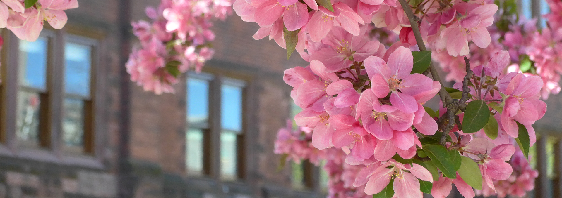 Crabapple blossoms by the Graham Library