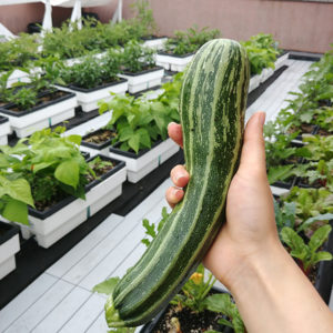 Zucchini harvested from Trinity's rooftop garden