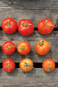 Tomatoes grown from St Hilda's College garden