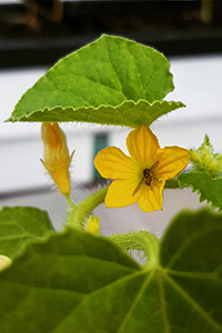 Cucumbers plant from the Trinity garden